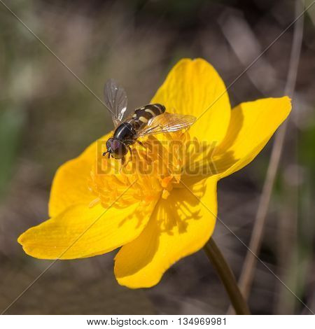 hoverfly sitting on a yellow flower closeup