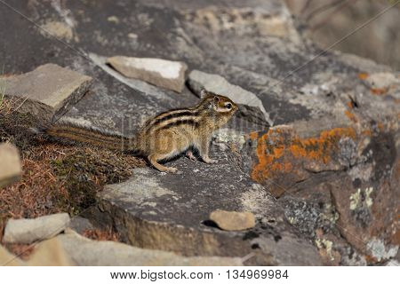 Chipmunk sitting on the rocks covered with lichen and moss