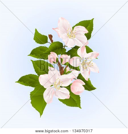 Apple tree branch with flowers and buds spring background vector illustration