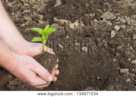 small green seedling pepper in hand on the background of the soil. candid photos