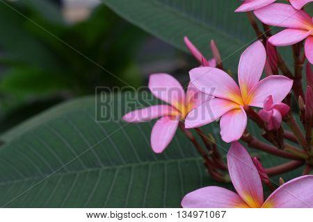 Beautiful pink frangipani blooming on the tree