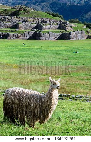 Lama At Sacsayhuaman In Cuzco, Peru.