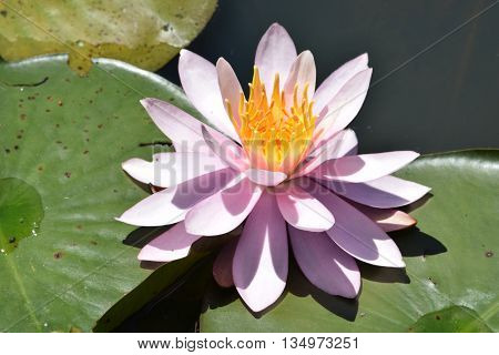 a pink and yellow blossom on a lily pad