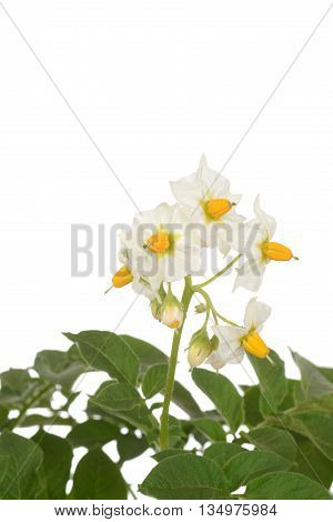 isolated closeup russet potato plant flowers on white