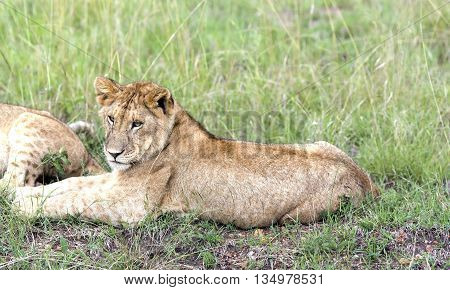 Lovely young lion cub resting on the grass in the savannah  in a park Tarangire, Tanzania