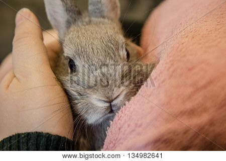 Close up of a small gray bunny sitting on young girl lap and looking at camera.