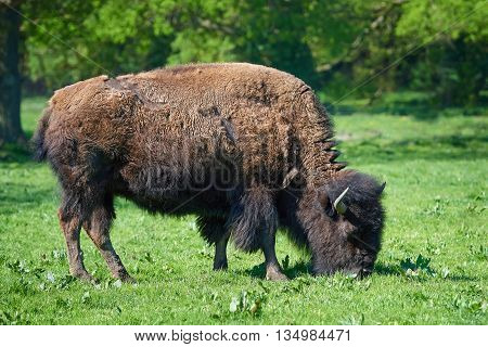 American bison (Bison bison) eating grass in its habitat