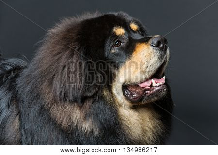 Closeup portrait of big beautiful Tibetan mastiff dog over black background. Copy space.