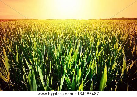 Hot summer day. Sunny field with green grass at hot summer. Nature.
