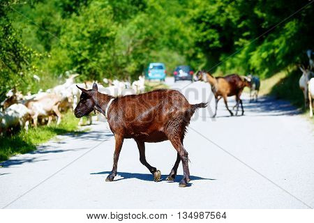 Goat Herd Disabling The Cars To Pass By On Mountain Road.