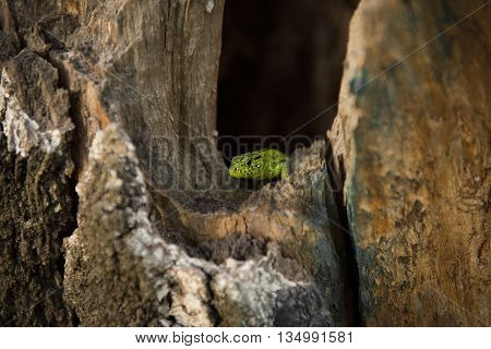 Green lizard peeking out of a hollow tree