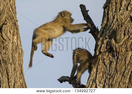 Young baboons play and jump in a tree with fun