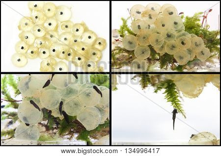 Frog eggs hatching process series - from Day 3 to Day 8 after fertilization.