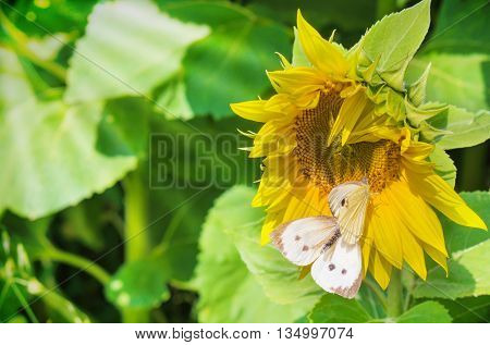 a sunflower with a white butterfly in sunshine