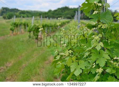 Spring in the vineyard Lower Austria Austria