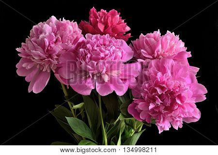 Bouquet of five pink peonies with green leaves close up on a black background isolated