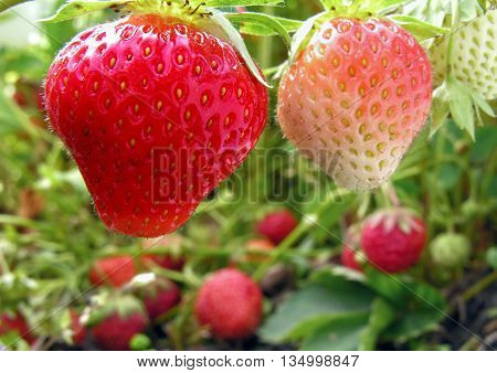 close-up of ripening strawberry in the vegetable garden