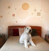 Постер, плакат: Собака в современной спальни