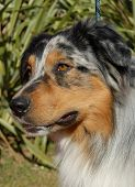 stock photo of cute dog  - portrait of purebred australian shepherd - JPG