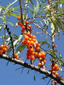 image of sea-buckthorn  - branches of sea - JPG