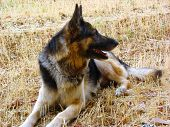 stock photo of shepherdess  - German shepherd dog - JPG
