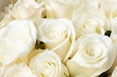 stock photo of white roses  - Cream roses - JPG