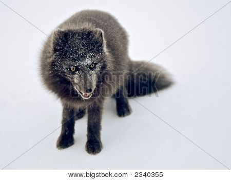 Fox-Arctic Fox Blue Cross