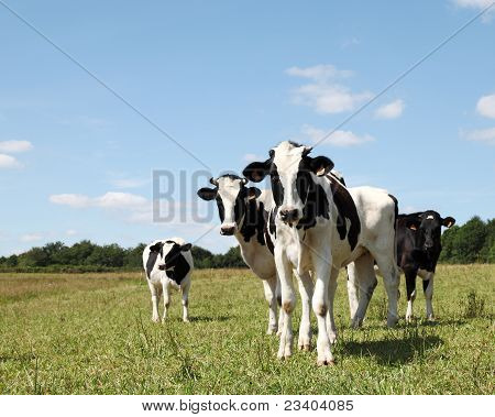Shy Young Black And White Dairy Cows