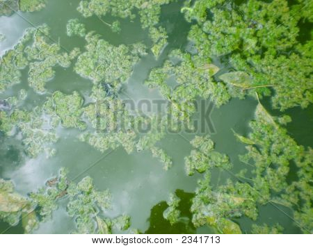 Algea On Pond