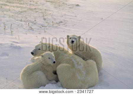 Eisbär und jungen