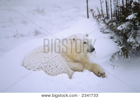 Polar Bear Cub In Tag Berd