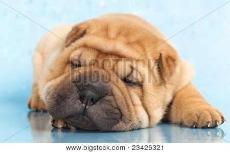 Sharpei in front of a blue  background