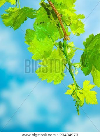 Fresh Grape Leaves Border