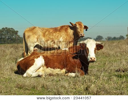 Australian Simmental Cow Typical Brown And White Coloring