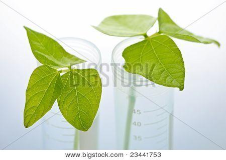 Gm Plant Seedlings In Test Tubes