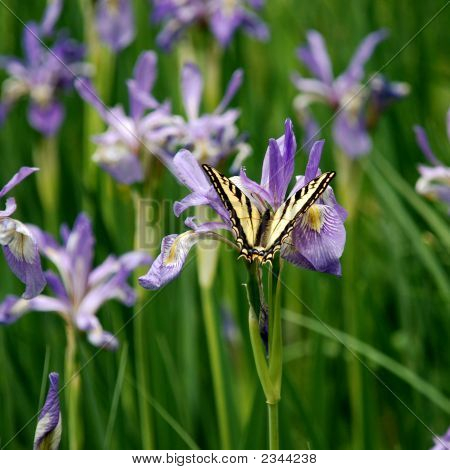Wild Iris And Swollowtail Butterfly  In Pecos Wilderness, New Mexico
