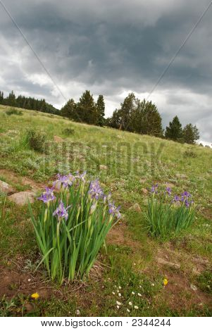 Wild Iris On Mountainside In Pecos Wilderness, New Mexico