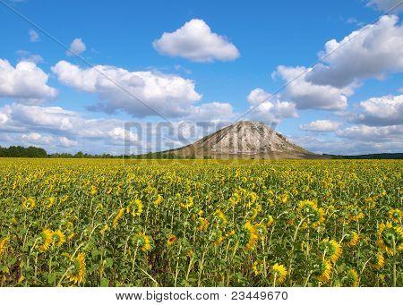 Sonnenblume Feld. Sommerlandschaft.