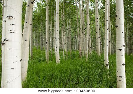 Forest Of Tall White Aspen Trees In Aspen