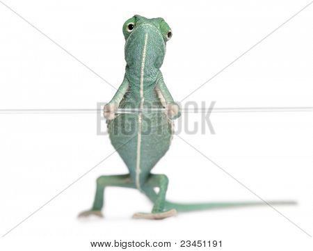Young veiled chameleon, Chamaeleo calyptratus, holding on a string in front of white background