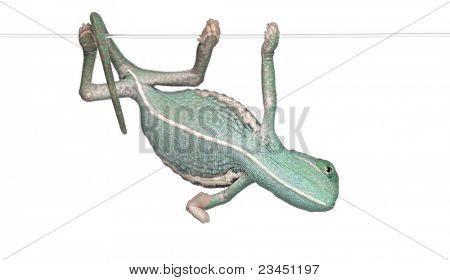 Young veiled chameleon, Chamaeleo calyptratus, hanging on a string in front of white background