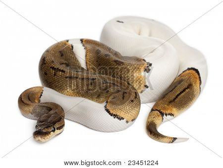 Female Pinstripe Pied Royal python, ball python, Python regius, 14 months old, in front of white background