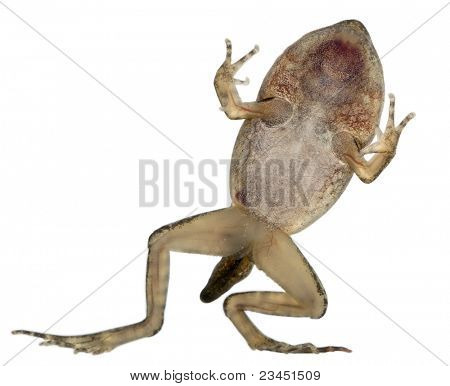 Common Frog, Rana temporaria, young metamorphosis at 14 weeks, in front of white background