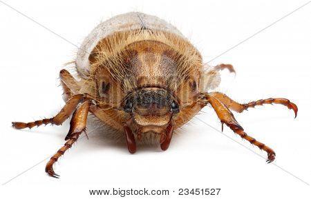 Sommer-Chafer oder europäischen Juni Käfer, Amphimallon Solstitiale, vor weißem Hintergrund