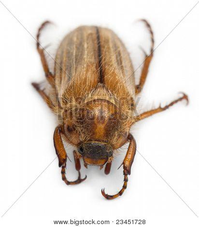 Sommer Chafer oder europäischen Juni Käfer, Amphimallon Solstitiale, in front of white background