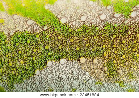 Close-up of Four-horned Chameleon skin, Chamaeleo quadricornis