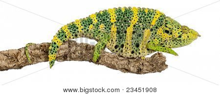 Meller's Chameleon, Giant One-horned Chameleon, Chamaeleo melleri, perched on branch in front of white background