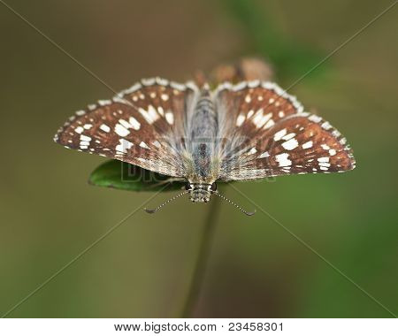 Common Checkered Skipper (Pyrgus scriptura)