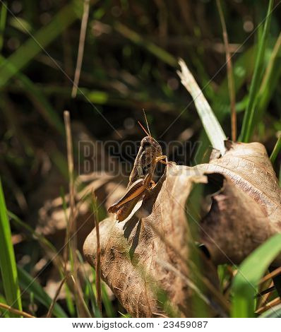 Autumn Spur-Throated Grasshopper