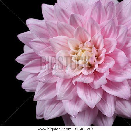 Schöne Rosa Dahlie isoliert auf schwarz